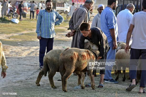 Kashmiri sheep seller seen waiting for customers at a market ahead of the Muslim festival Eid alAdha Muslims across the world are preparing to...