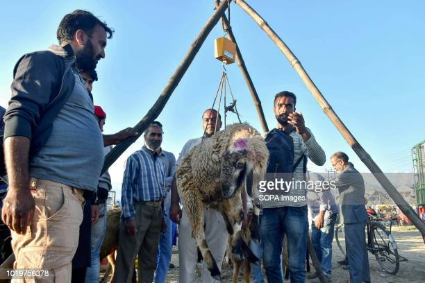 Kashmiri sheep seller seen weighing a sheep at a market ahead of the Muslim festival Eid alAdha Muslims across the world are preparing to celebrate...