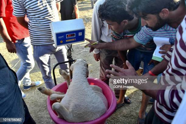 Kashmiri sheep seller seen weighing a sheep on a digital weight machine at a market ahead of the Muslim festival Muslims across the world are...