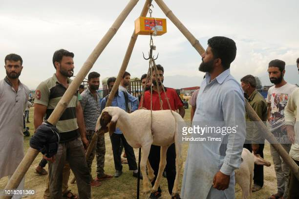 Kashmiri sheep seller weighs a sheep ahead of the Muslim Festival of Eid alAdha at a livestock market Eidgah area on August 17 2018 in Srinagar India