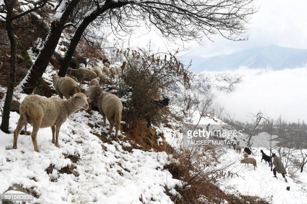 Kashmiri shepherd leads a flock of sheep after a snowfall on the outskirts of Srinagar on December 13 2017 / AFP PHOTO / Tauseef MUSTAFA