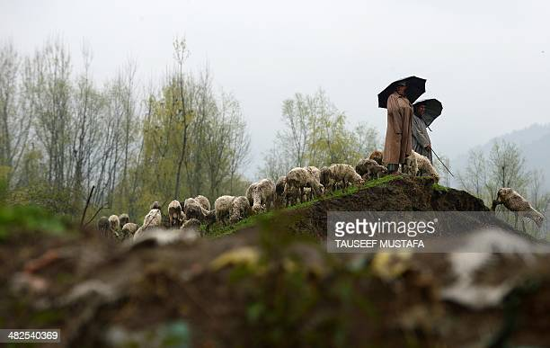 Kashmiri shepherds shelter under umbrellas during a rain shower as they tend their flocks at the edge of Zabarwan Forest on the outskirts of Srinagar...