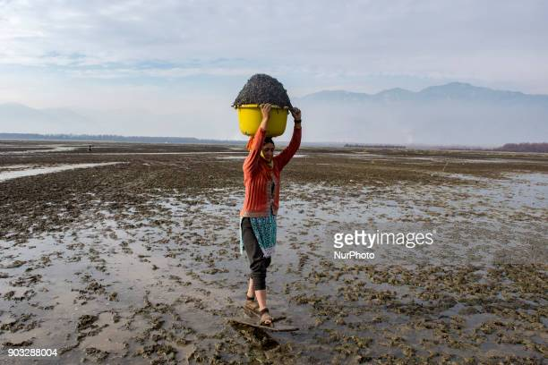 Kashmiri woman carries a tub full of chestnuts on her head after harvesting them from mud and weed as she walks on marsh with a short wooden skis...