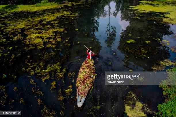 A kashmiri woman carries forage as she rows her boat on Dal lake on June 29 2019 in Srinagar the summer capital of Indian administered Kashmir India...