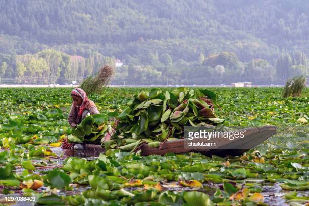 a kashmiri woman harvest water lilies  on dal lake of kashmir, india. water lilies are picked early in the morning and washed. then the flowers are brought to market. since 1947 the ownership of kashmir has been disputed between pakistan and india. - shaifulzamri - fotografias e filmes do acervo