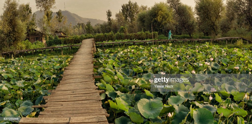 A Kashmiri woman walks on the bridle path made over the floating lotus garden in Dal lake on August 22, 2017 in Srinagar, the summer capital of Indian administered Kashmir, India. Lotus flowers are in full bloom in ecologically rich Dal Lake. The flowers and leaves rise on their slender stalks three or four feet from the surface of the lake in the months of July and August. Its root, Nadru or Nelumbo nucifera, is a savoured delicacy of Kashmir people and fetches over $7,920,164 (50 Crore INR) annually for vegetable dealers.