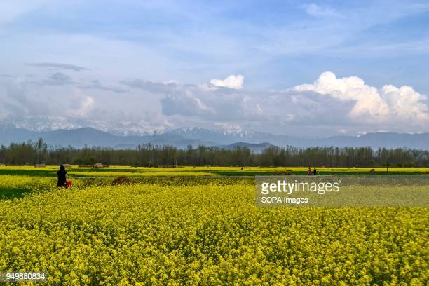 Kashmiri woman walks through a mustard field in full bloom in Awantipora 35kms south of Srinagar Indian administered Kashmir According to the...