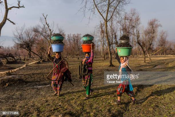 Kashmiri women carry tubs full of water chestnuts on their heads after harvesting them from mud and weed in a marsh on January 05 2018 in Kolhom...