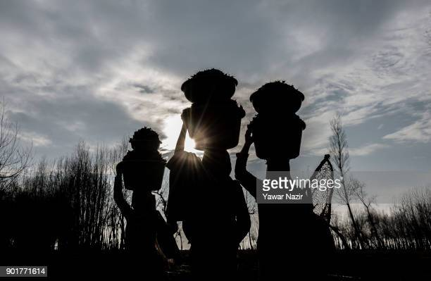 Kashmiri women carrying tubs full of water chestnuts on their heads as they are silhouetted against the sun after harvesting them from mud and weed...