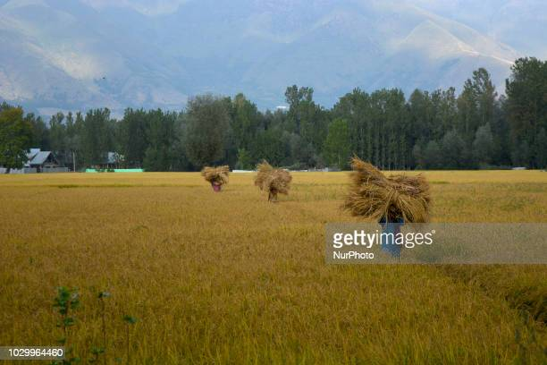 Kashmiri women farmers working in the paddy fields during harvesting of rice in the outskirts of Srinagar the summer capital of Indian administered...