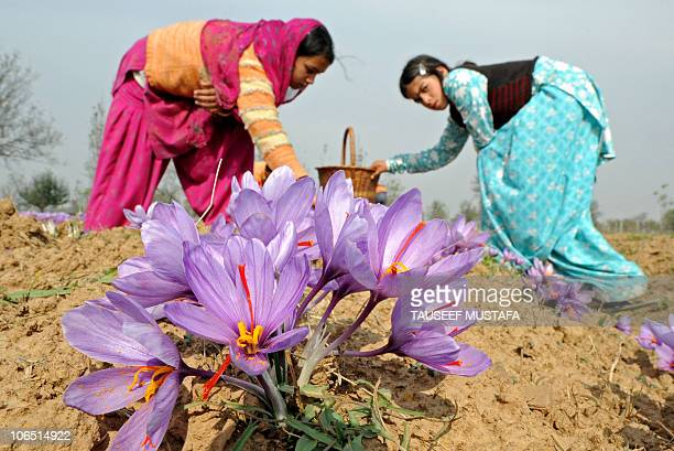 Kashmiri women pluck flowers as they take part in the harvest of saffron at a farm in Pampore on the outskirts of Srinagar on November 4 2010 The...