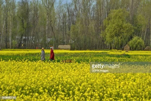 Kashmiri women walk through a mustard field in full bloom in Awantipora 35kms south of Srinagar Indian administered Kashmir According to the...