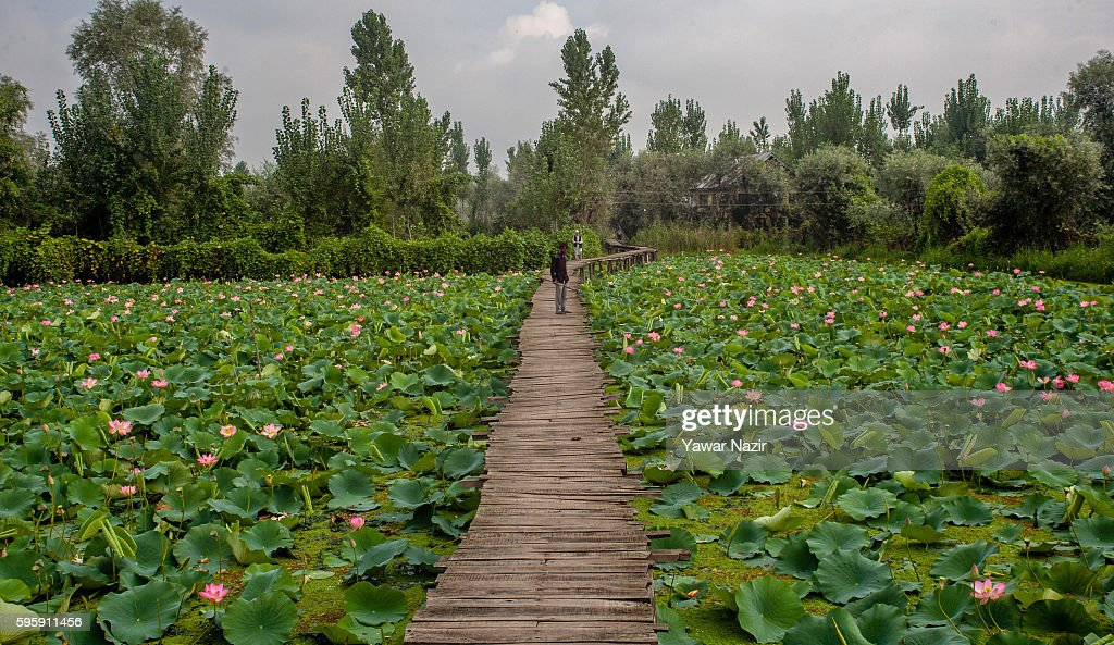 Kashmiris walk on a bridle path made amid the floating lotus garden in Dal lake on August 26, 2016 in Srinagar, the summer capital of Indian administered Kashmir, India. Lotus flowers are in full bloom in ecologically rich Dal Lake. The flowers and leaves rise on their slender stalks three or four feet from the surface of the lake in the months of July and August. Its root, Nadru or Nelumbo nucifera, is a savoured delicacy of Kashmir people and fetches over $7,920,164 (50 Crore INR) annually for vegetable dealers. Fierce protests in Indian-administered Kashmir over the killing of a young rebel commander Burhan Wani have left at least 70 people dead and over 7000 injured as an on ongoing unrest in Indian controlled Kashmir enters its 49th day. It is the worst violence in the area since 2010. The protests have triggered a heavy crackdown by Indian government forces including many strict curfews. The Indian government has send an additional 2000 more paramilitary forces to Kashmir from Delhi, adding to the nearly half million troops already in Kashmir. Kashmir has been a contested land between nuclear neighbors India and Pakistan since 1947, the year both the countries attained freedom from the British rule. Since 1989, Kashmir has been a state under siege, with both India and Pakistan laying claim to it.