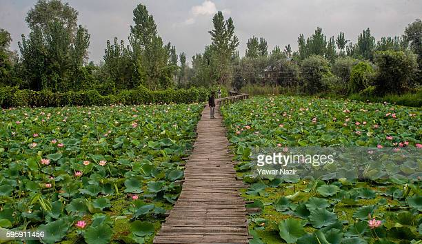 Kashmiris walk on a bridle path made amid the floating lotus garden in Dal lake on August 26 2016 in Srinagar the summer capital of Indian...