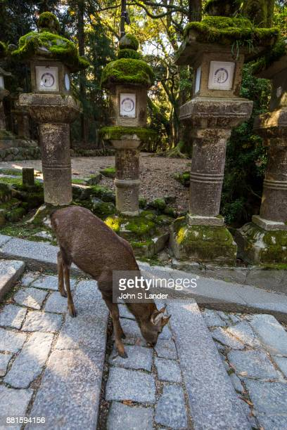 Kasuka Srhine Lanterns Deer Kasuga Taisha is famous for its many lanterns which have been donated by worshippers The many bronze lanterns within the...