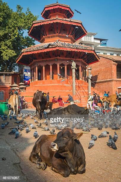 Kathmandu sacred cows outside shrine in Durbar Square Nepal