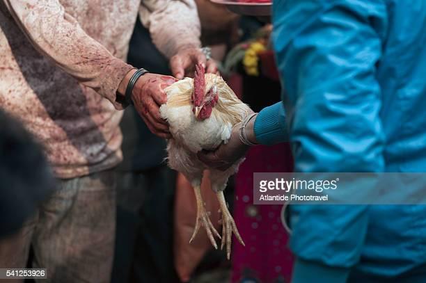 Kathmandu Valley, Dakshinkali Temple, a rooster ready for the sacrifice at the Dakshinkali temple