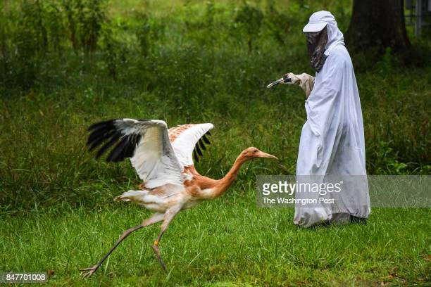 Kathryn Nassar Animal Care Technician dressed in Whooping Crane custom photographed with a 2 months old Whooping Crane chick at the USGS Patuxent...