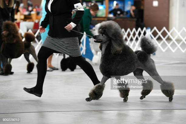 Kathy Adams competes with her three year old Standard Poodle Colorado Chrome during the Colorado Kennel Club Dog Show at the National Western Complex...