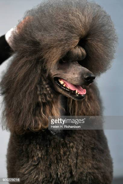 Kathy Adams not shown poses for a portrait with her three year old Standard Poodle Colorado Chrome during the Colorado Kennel Club Dog Show at the...