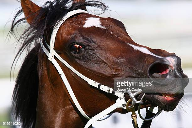 Kathy O'Hara's mount Single Gaze after Race 6 in the James Boag's Premium Australian Oaks during Queen Elizabeth Stakes Day at Royal Randwick...