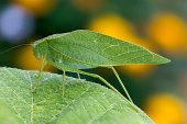 Katydid (Leaf Bug) on Grape Leaf