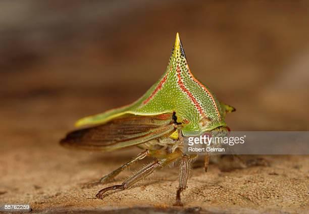 Katydid (family Tettigoniidae) on leaf, Colombia