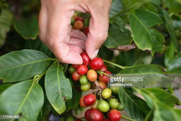 Kauai: Cosecha de café
