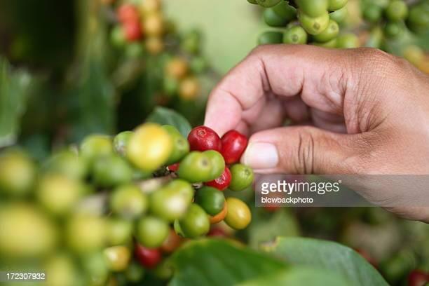 Kauai: Coffee Harvest