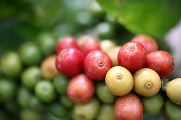 Kauai: Coffee