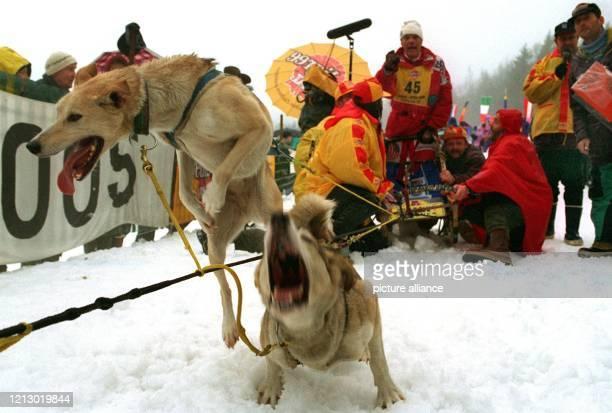 Kaum zu bremsen sind die Schlittenhunde vor ihrem Start bei den Weltmeisterschaften der Schlittenhundegespanne am in Todtmoos im Schwarzwald. Bis zu...