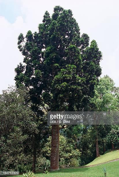 Kauri Araucariaceae