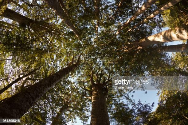 Kauri - New Zealands Giant Tree