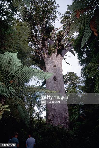 Kauri Tane Mahuta king of the Forest gigantic specimen in Waipoua kauri Forest North island New Zealand
