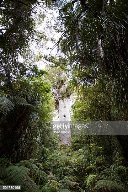 Kauri tree at Waipoua Forest, New Zealand
