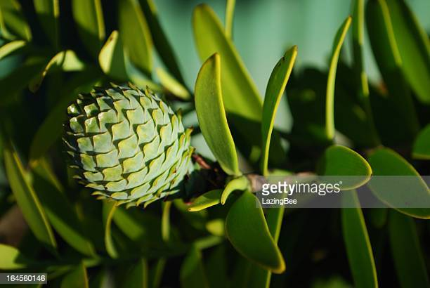 Kauri Tree (Agathis Australis): Female Cone