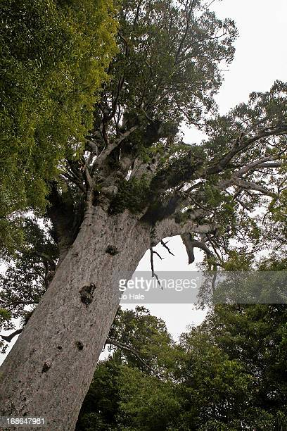 Kauri Tree in Trounson Park on January 8 2013 on the Kauri Coast in the Northlands of the North Island in New Zealand
