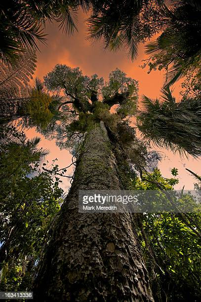 kauri tree sunset