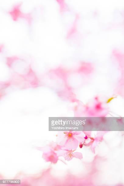 Kawazu sakura blooming, Kanagawa, Japan