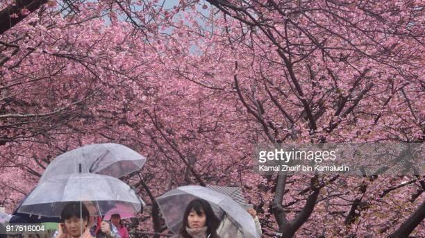 Kawazu Zakura cherry blossom