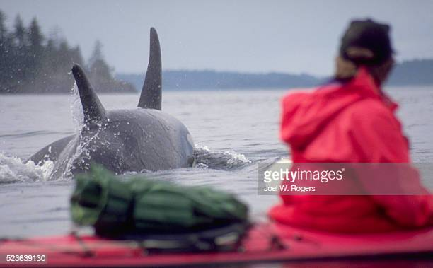 kayaker near killer whales - british columbia stock pictures, royalty-free photos & images