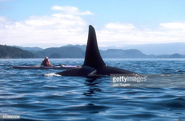 kayaker photographing an orca whale, johnstone strait, canada - joel rogers stock pictures, royalty-free photos & images
