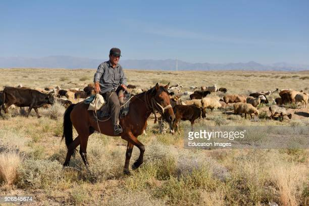 Kazakh cowboy on horseback herding cattle and sheep in steppe of Zhongar AlaTau mountains Kazakhstan