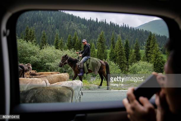 Kazakh herds cattle on the Duku highway on June 28 2017 in Xinjiang Uygur Autonomous Region China The Duku highway from Dushanzi to Kuche is 561 km...