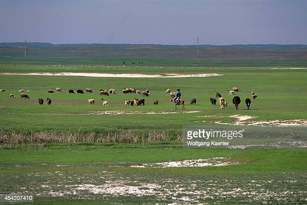 Kazakhstan Near Lugovoy Steppe Grassland Sheep