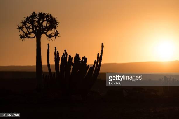 Köcherbaum im Sonnenuntergang