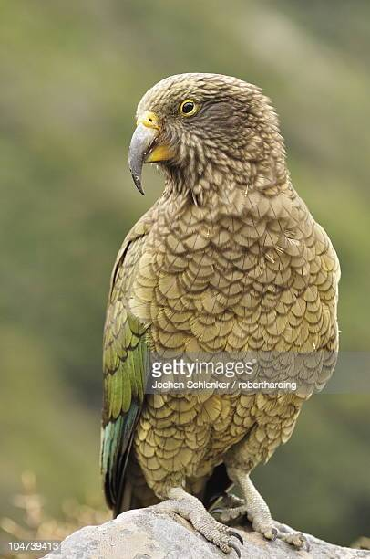 Kea (Nestor notabilis), Arthur's Pass, Canterbury high country, South Island, New Zealand, Pacific