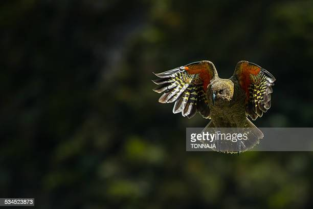 Kea (Nestor notabilis) in flight, New Zealand