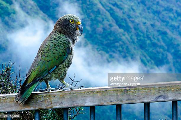 Kea Perching On Railing Against Mountain In Foggy Weather
