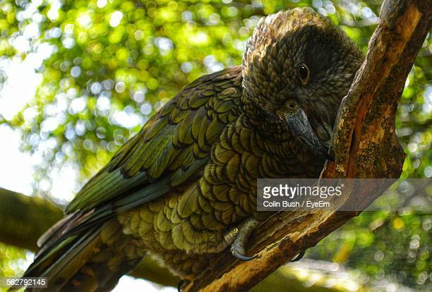 Kea Perching On Tree